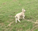 Lamb looking for its mother and security