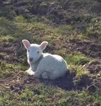 An Easter lamb photographed in the Welsh Hills on Easter Monday